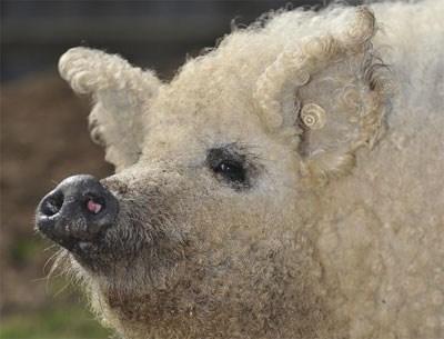Sheep_pig