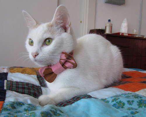 Cat-bow-tie-pattern